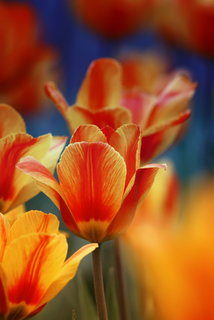beautiful bright flowers and buds of a Tulip bloom in spring in the garden Standard-Bild