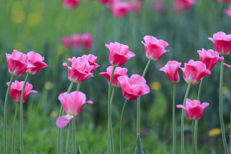beautiful bright pink flowers and buds of a Tulip blooming in the spring in the may Park Standard-Bild