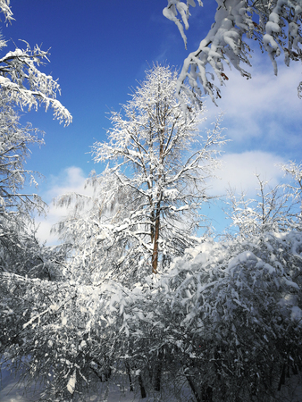 winter landscape with white trees, snow and blue sky