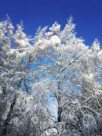 winter landscape with trees covered with white fluffy snow on blue sky background Standard-Bild
