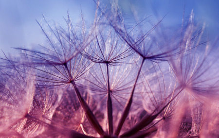 natural backdrop of the fluffy seeds of the dandelion flower close-up in purple tones Standard-Bild