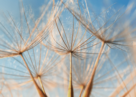 delicate fluffy dandelion flower seeds reach out to the blue sky on a Sunny day Standard-Bild