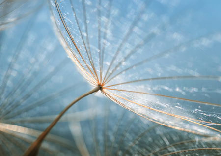 gentle natural backdrop of the fluffy seeds of the dandelion flower close-up Standard-Bild