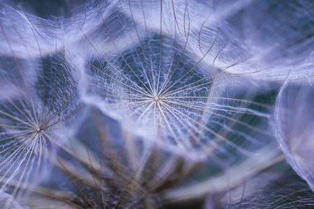 delicate natural background of airy fluffy dandelion flower seeds large in pale blue tones