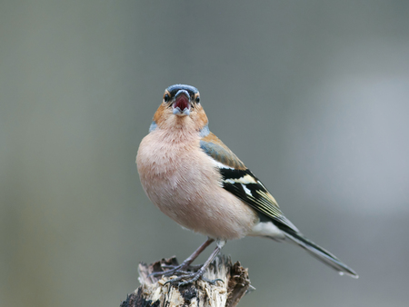 portrait of little beautiful bird Finch singing trill in spring forest to attract females Standard-Bild