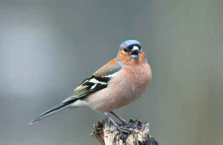 portrait of little beautiful bird Finch singing trill in spring forest to attract females Stock Photo