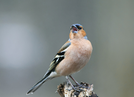 cute portrait of little beautiful bird Finch sings trill in spring forest to attract females