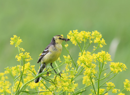 yellow Wagtail bird sitting on blooming rapeseed field with insects in beak Standard-Bild