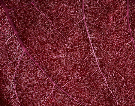 natural bright background of juicy red leaf texture with translucent veins