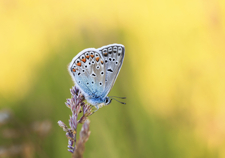 bright blue little butterfly sits on a floral gentle Sunny summer meadow