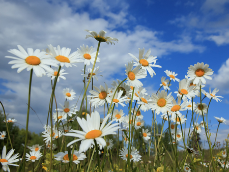 delicate white flowers of chamomile grow on a summer meadow and stretch to the blue sky Standard-Bild