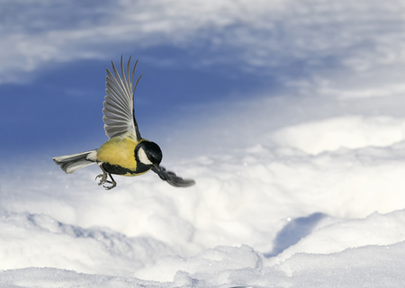 little beautiful tit flies wide spreading her wings over a snowy background Stock Photo