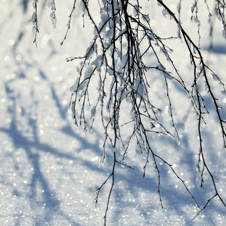 landscape beautiful natural background with graceful birch branches covered with shiny ice crystals on snow-white sparkling fresh snow Stockfoto