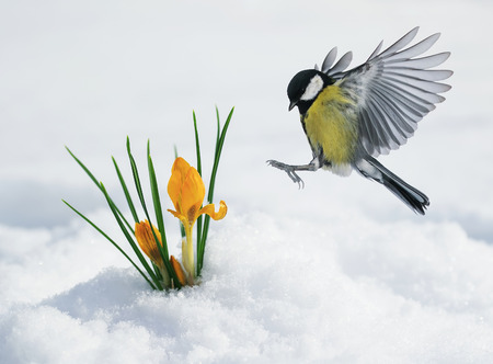 la festosa cartolina di primavera con una tetta vola verso i bucaneve gialli che si fanno strada a marzo Archivio Fotografico