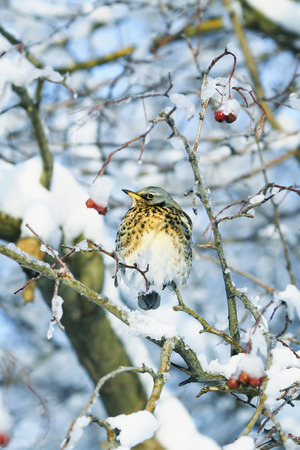 songbird is a beautiful bird of the thrush sitting on a branch with juicy berries of mountain ash in the garden