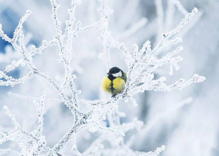 cute little chickadee bird sitting among the tree branches covered with cold snow flakes and crystals of frost in the bright white winter Park