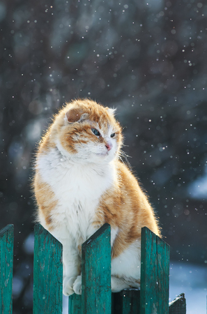 beautiful funny redhead cat sits outside at the beginning of the horseshoe on a wooden fence during snowfall and looks into the distance Stock Photo