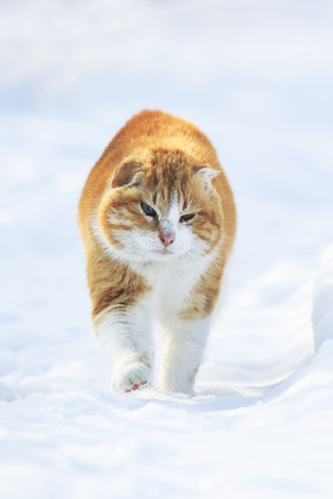 important bright red cat walking on the white snow pacing among the snowdrifts in the winter in anticipation of spring Stockfoto