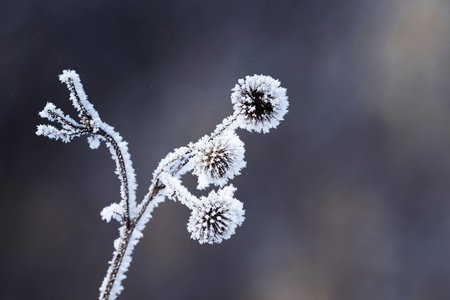 burdock plants covered with white fluffy crystals of cold ice and frost