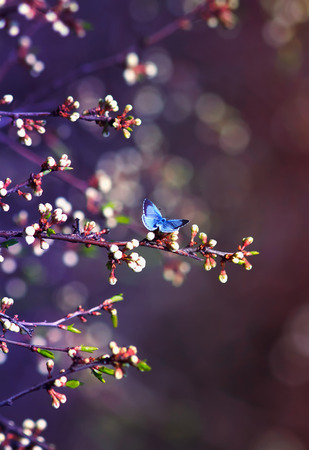 little blue butterfly, Icarus was sitting on the branch of the cherry blossoms in a fabulous spring garden in Sunny day