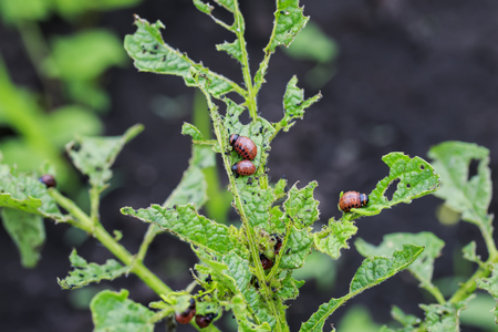 an unpleasant slippery red insects pests are the larvae of the Colorado potato bug was obladali green shoots growing in the garden