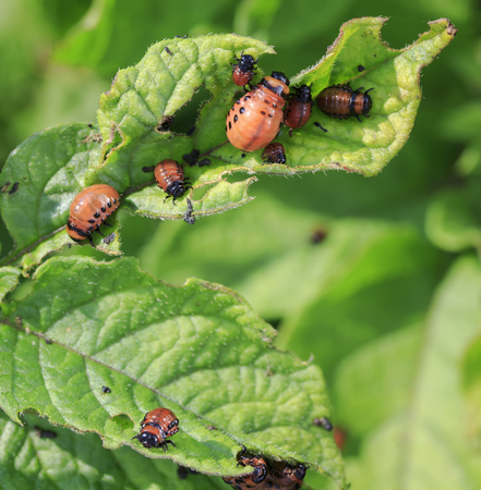 an unpleasant slippery red insects pests are the larvae of the Colorado potato bug was obladali green shoots on the farm