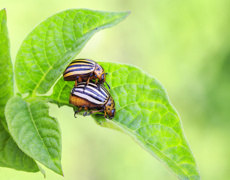 a pair of striped Colorado bug reproduce on young green shoots of potatoes Stockfoto