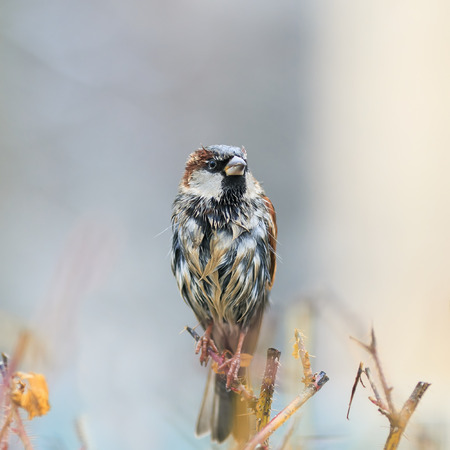 cute funny wet little bird Sparrow sitting on a prickly Bush, and dries feathers on a Sunny spring day