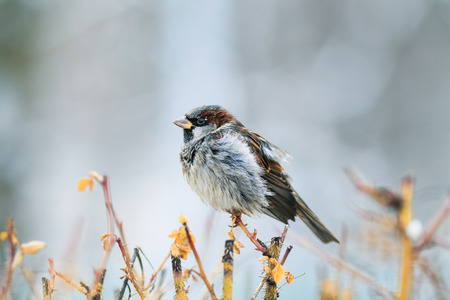 funny wet little Sparrow sits on a prickly Bush and dries feathers