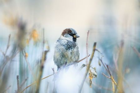 proud portrait of cute funny bird Sparrow sits on prickly Bush and dries feathers in spring garden