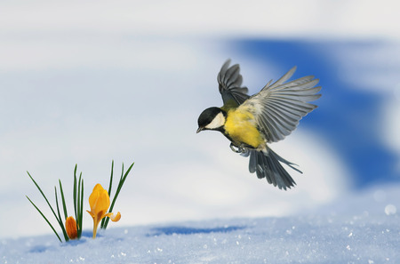 little bird tit flies up to growing out of the snow bright yellow snowdrops in the spring Park 스톡 콘텐츠