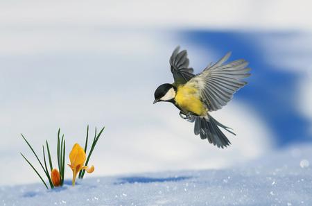 kleine Vogelmeise fliegt auf, um aus dem Schnee heraus zu wachsen helle gelbe Schneeglöckchen im Frühlingspark