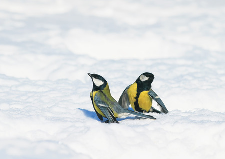 two little cute beautiful Tits gathered on white snow drifts in the Park and have fun chatting and arguing Stockfoto