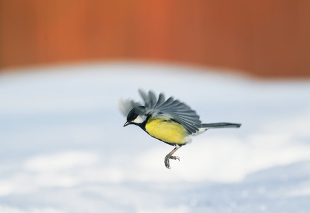 cute tit flutters over white snow drifts in the Park on a Sunny bright day