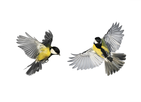 a couple of little birds chickadees flying toward spread its wings and feathers on white isolated background 版權商用圖片