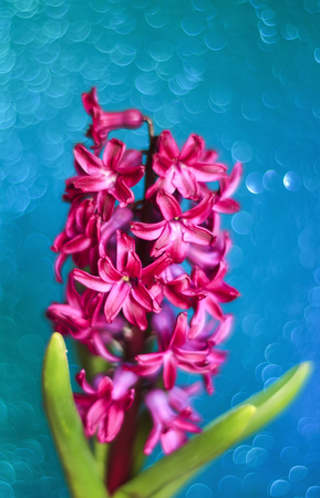 spring holiday card with fabulous pink hyacinth flower on blue sky delicate shining background Stock Photo