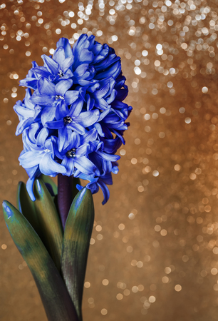spring holiday postcard from blue flower of hyacinthon a delicate Golden shiny background Stock Photo