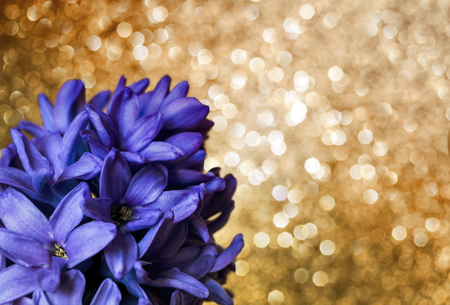 spring holiday background with lilac hyacinth flower on Golden bright shining background