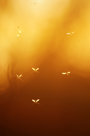 a few small insects mosquitoes with transparent wings flying against the bright red of the sunset sky Stockfoto