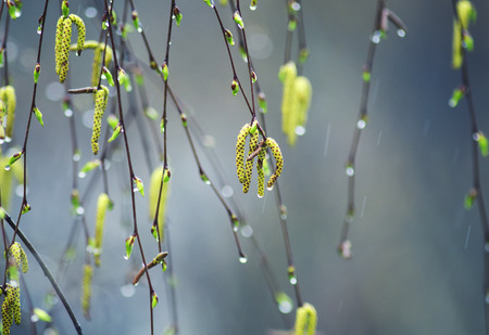 birch branches with swollen Golden buds with earrings covered with drops of morning spring rain
