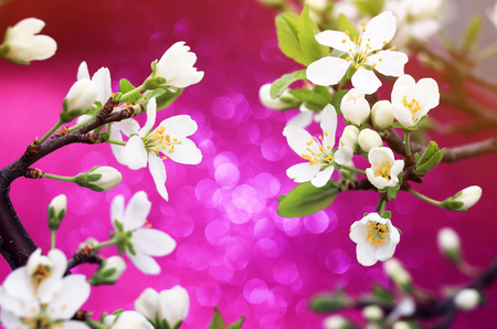 branch of snow-white cherry blossom on shiny festive bright pink background