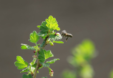 a small bee flies around the currant Bush in early spring pollinating it