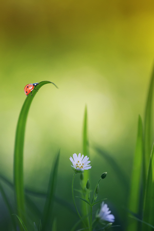 natural background with little ladybug crawling on green grass on a blossoming spring meadow on a Sunny bright day Stockfoto