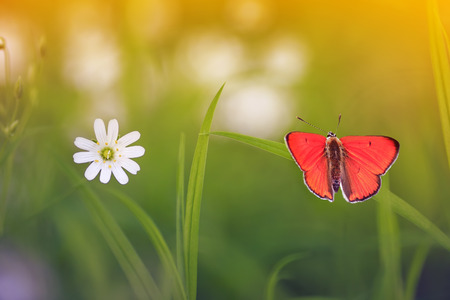 natural background with little orange butterfly sitting on green grass on a blossoming summer meadow on a Sunny bright day Stockfoto