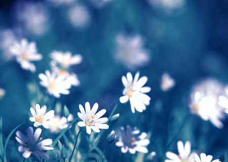 natural background with small white flowers grow on spring meadow