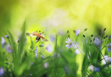 natural background with may beetle flying wide straightening wings blooming spring meadow on Sunny bright day Stockfoto