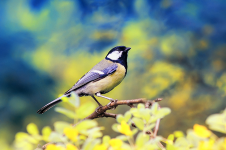 bright bird tit sitting on a flowering acacia Bush in spring Park