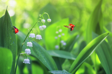 two ladybugs crawling and flying on forest glade with white fragrant flowers lilies of the valley