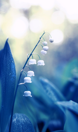 natural delicate background with white fragrant Lily-of-the-valley flowers in dew in blue tones