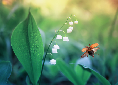 may beetle flies over forest glade with white beautiful Lily of the valley flowers 스톡 콘텐츠